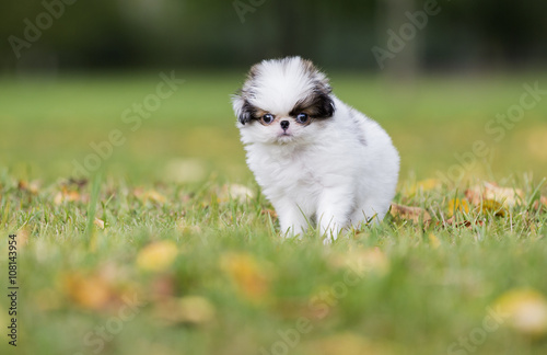 Canvas Print puppy Japanese chin in a Park