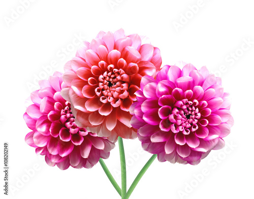Canvas Print Pink Dahlia Autumn flowers isolated on white