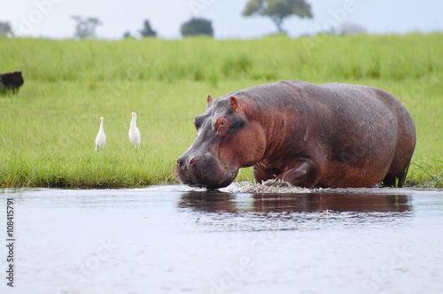 Hippopotamus - Chobe National Park - Botswana Fototapet