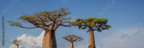 Allée des baobabs Madagascar Fototapeta