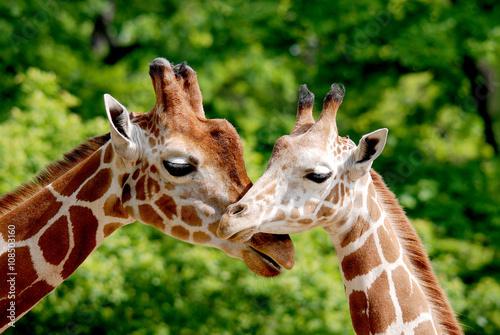 Fototapeta premium Żyrafa (Giraffa camelopardalis) to afrykański ssak parzystokopytny, najwyższy ze wszystkich istniejących gatunków zwierząt lądowych i największy przeżuwacz.