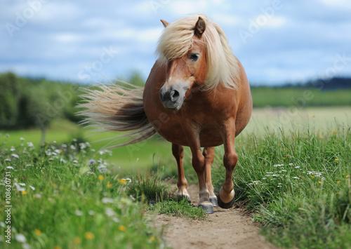 Carta da parati Shetland pony