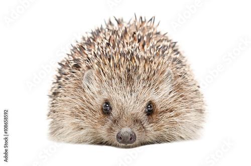Obraz na plátne Portrait of a hedgehog isolated on a white background