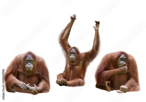 Set of image orangutan