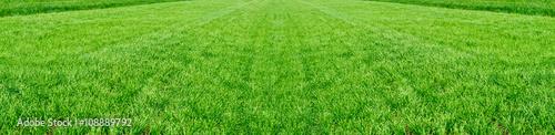 Fototapeta premium Pole młodej pszenicy. Tło zielona trawa.