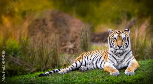 Billede på lærred Bengal tiger