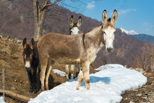 Wallpaper Mural Donkeys in the mountains
