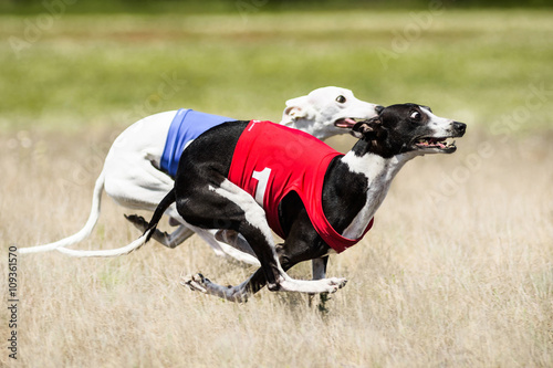 Canvas-taulu Two Sighthounds lure coursing competition. First flight phase of