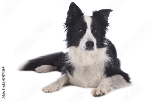 Fotomural Hübscher Border Collie Hund liegt auf weißem Hintergrund
