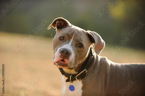 Billede på lærred American Pit Bull Terrier wearing collar and blue tag