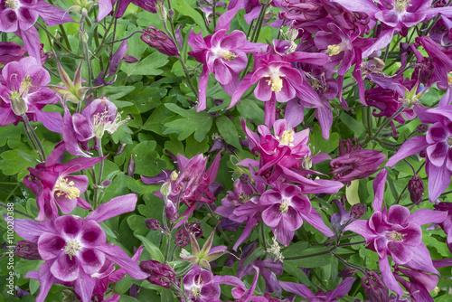 aquilegia fiori Fototapeta