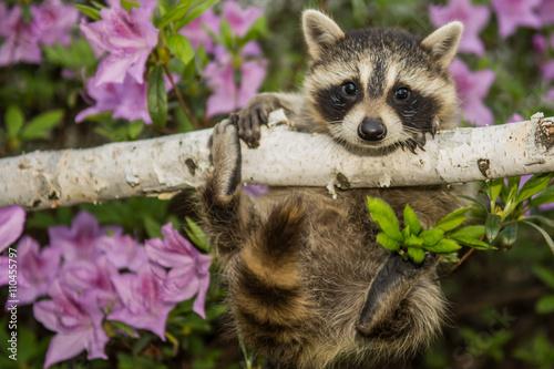 Canvas Print Baby Raccoon
