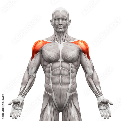 Deltoris Muscles Anterior - Anatomy Muscles isolated on white Fotobehang