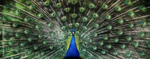 Fototapeta Portret pięknego pawia z rozłożonym ogonem szeroka