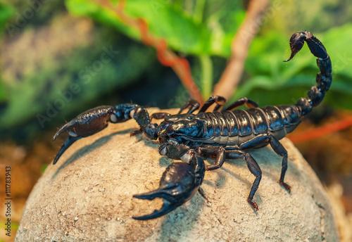 live black scorpion
