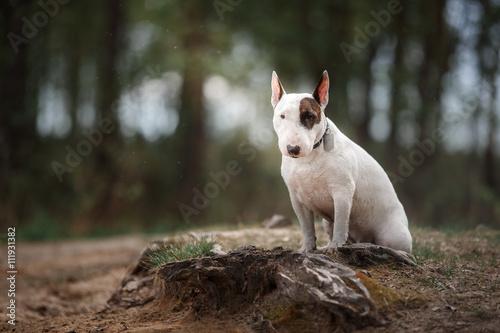 Stampa su Tela Dog Bull Terrier walking in the park