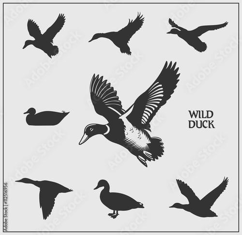 Slika na platnu Vector set of wild ducks.