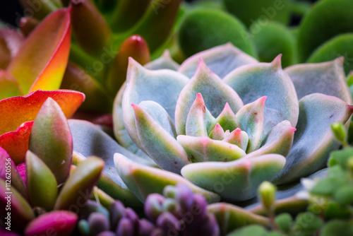 Succulent, plant, close-up, macro.