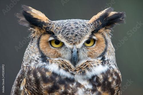 Fotografie, Obraz Great Horned Owl (Bubo virginianus) in the rain