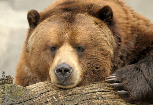 Alaskan Brown (Grizzly) Bear