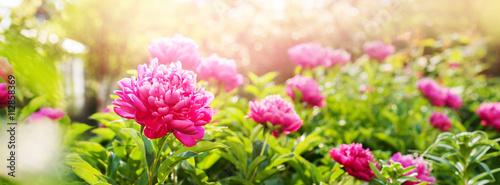 Valokuva Peonies Fuchsia Colour Summer Green Garden Banner