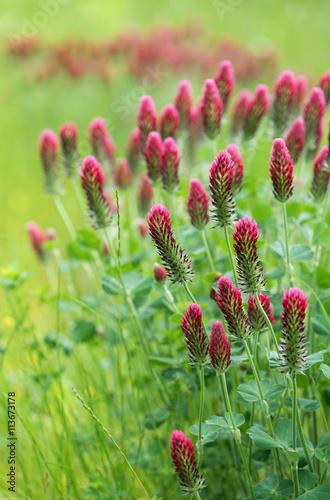 Blooming summer meadow of crimson clover flowers. (Trifolium incarnatum). Selective focus.