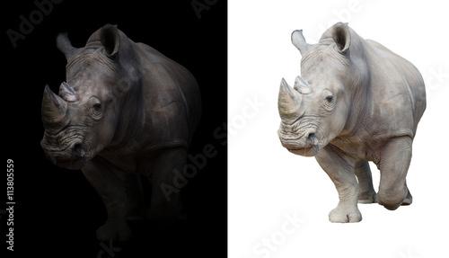 Fototapeta premium white rhinoceros in dark and white background
