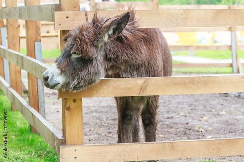 Canvas Print donkey on farm behind wooden fence