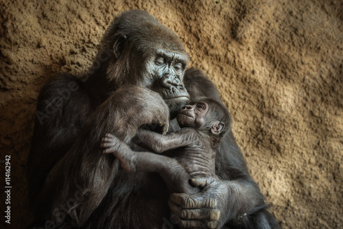 Wallpaper Mural Gorilla and its baby