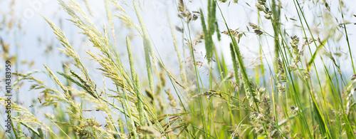 Fototapeta premium kwitnąca trawa w szczegółach - alergeny