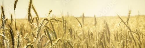 Fotografia Cultivo de Cebada, Cereal Plants, Barley, cosecha, food