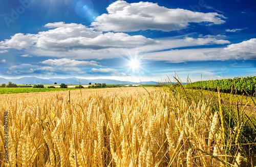 Milder Spätsommer in der Pfalz: Weizenfelder, Ernte, Getreide, blauer Himmel, Wo Fototapeta