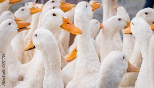 Fotografering large group of white ducks.
