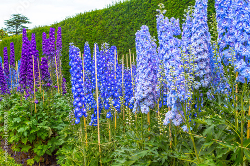 Fotografía Blue delphinium blossom in the garden