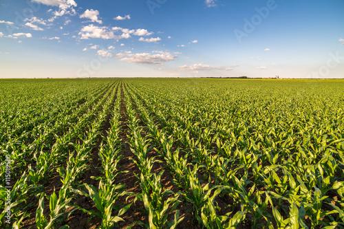 Green corn maize field in early stage Fototapete