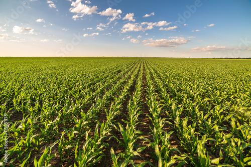 Cuadros en Lienzo Green corn maize field in early stage