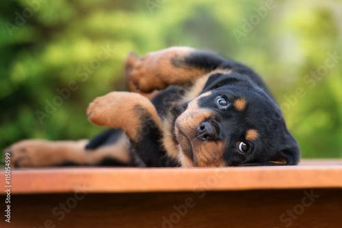 Fotografia adorable rottweiler puppy lying down