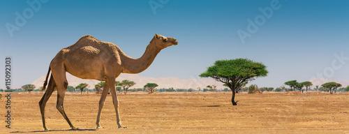 Photo Desert landscape with camel