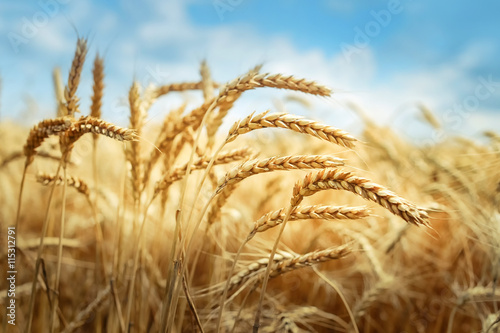 Photo Golden cornfield in sunny day