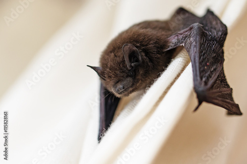 common pipistrelle (Pipistrellus pipistrellus) a small bat on a white curtain, copy space