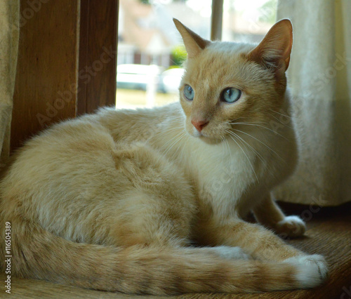 Fotografia Curious white siamese cat with blue eyes