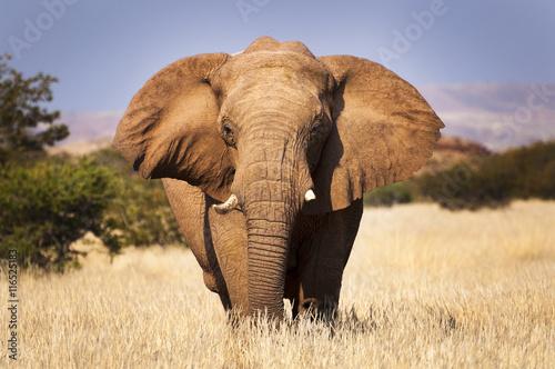 Fototapeta premium Słoń na sawannie, w Namibii, Afryce, koncepcja podróżowania po Afryce i Safari