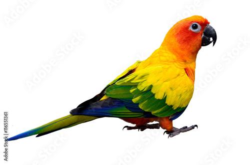 Fotografia Sun parakeet or sun conure (Aratinga solstitialis) the lovely ye