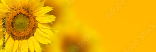 Yellow sunflower background Fototapeta