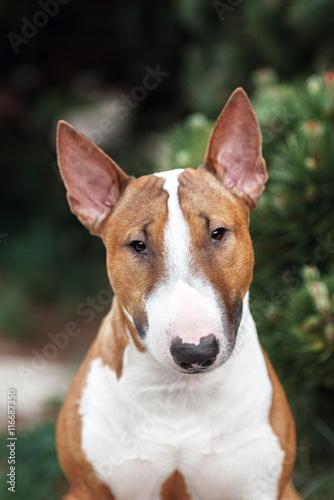 Wallpaper Mural red english bull terrier dog