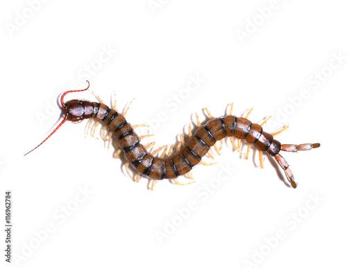 centipede on white background Fotobehang