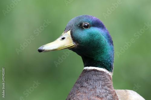 Fotografia Mallard Duck
