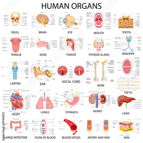 Chart of different Human Organs Fotobehang
