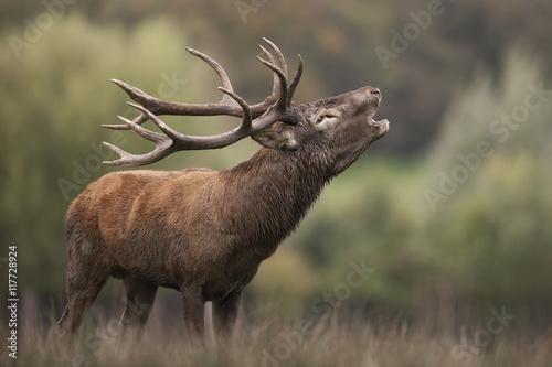 cerf brame chasse gibier mammifère sauvage forêt bois cor cerv