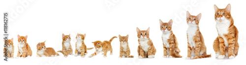 Fotografie, Obraz Kitten looking on white background